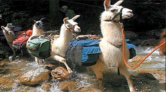 Andean Lamas Used Like Transport By The Local People
