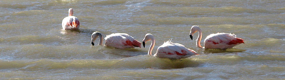 Andean Flamingos On The Road Of Puno To Arequipa