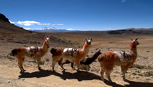 Trekking With Llamas In Cotahuasi Canyon