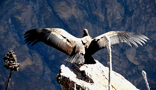 Colca Condor Viewpoint