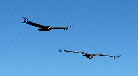 Couple Of Condor Flying On The Andes Of Peru