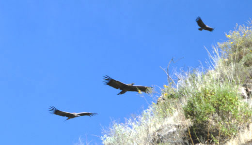 ColcaTour -  Andean Birds In The Colca Canyon - Condors flying at Colca canyon