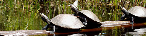 Amazon Turtles Of Peru