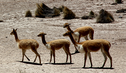 Vicuñas Of Peru - Andean Camelids at National Reserve Of Aguada Blanca And Salinas